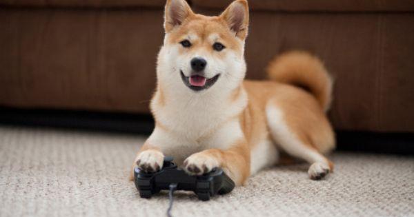Dog Playing Video Games With Controller Shiba Shiba Inu Dogs