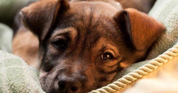 Hips Don T Lie A Primer On Hip Dysplasia From Petplan Pet Insurance German Shepherd Care German Shepherd Dogs German Shepherd