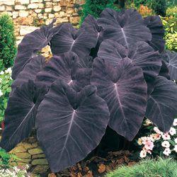 Elephant Ears Black Magic To Hide The Ac Compressor Plants Shade Plants Planting Flowers