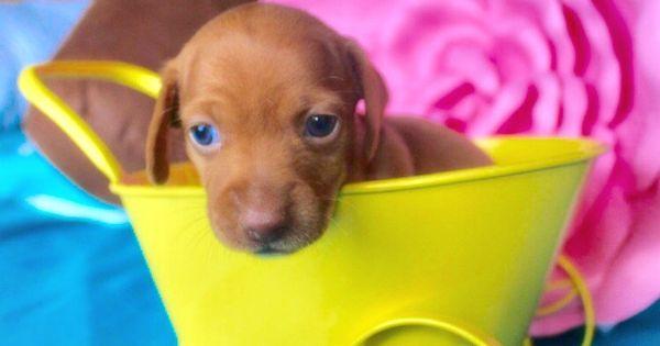 Red Shorthair Miniature Dachshund Puppy Muddy River Dachshunds Dachshund Puppies Dachshund Dog Daschund Puppies