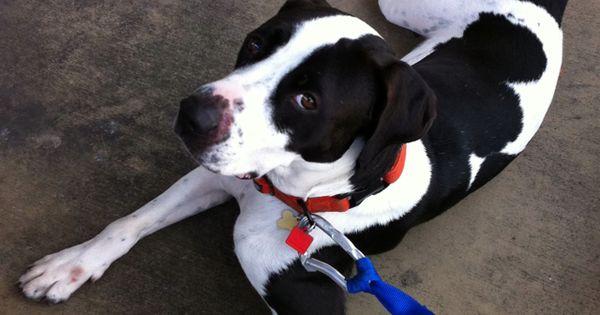 Watson, my English pointer Dane mix.   Dogs   Pinterest ...