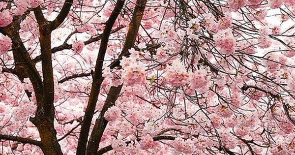 flower, cherry blossoms, pink, explosion, nature, wild, dark, creative