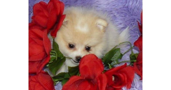 Pomeranian puppy for sale near Springfield, Missouri