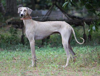 Kanni Dog Hound Dog Breeds Dog Breeds Dog Facts