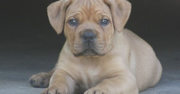 Boerboel Puppy For Sale In Atl Ga Adn 27855 On Puppyfinder Com Gender Male Age 8 Weeks Old Puppies For Sale Cute Puppies Puppies