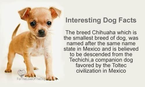 How Well Do You Know The Chihuaha Breed Dog Facts Chihuahua