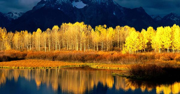 Autumnal forest | Quaking Aspen