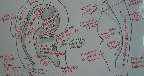 Surface Anatomy Of The Ear Acupuncture Acupressure Ear Reflexology