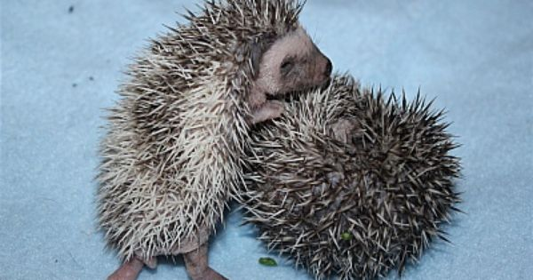 Some Of Our Precious Baby Hedgehogs Born At Texas Exotic Animals
