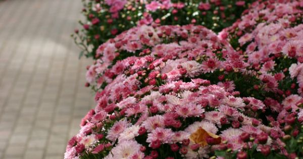 Purple mums in bloom at gardener 39 s supply in burlington vermont harvest home pinterest for Gardeners supply burlington vt