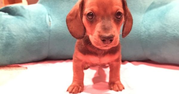Litter Of 4 Dachshund Puppies For Sale In Wichita Ks Adn 26489