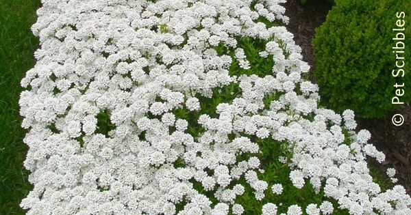 Candytuft A Garden Must Have Perennial Ground Cover