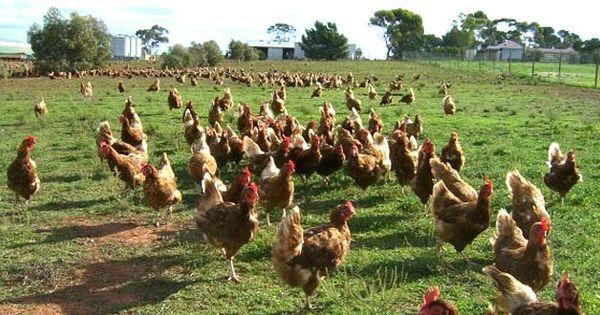 ไก ไข อารมณ ด Urban Chicken Farming Chickens Backyard Pet Chickens