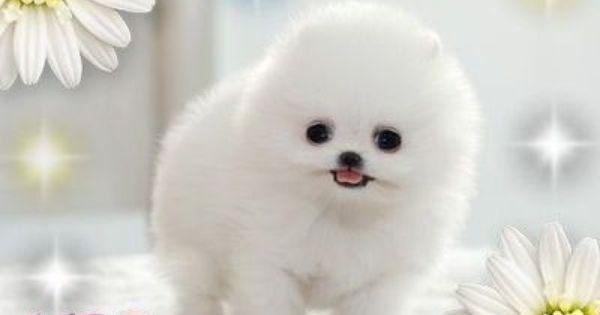 pomsky | Pomsky Puppy...so flufffeeee! / funny stuff ...