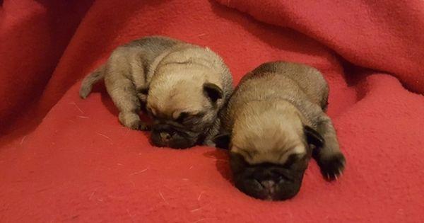 Pug Puppy For Sale In Cleburne Tx Adn 24592 On Puppyfinder Com Gender Female Age Under 1 Week Old Pug Puppies For Sale Puppies For Sale Pugs