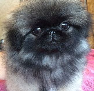 Pekingese Puppies Pet Dog Puppies For Sale In Lake George Ny A00006 Want Ad Digest Classified Ads Pekingese Puppies Pet Dogs Puppies Pet Dogs