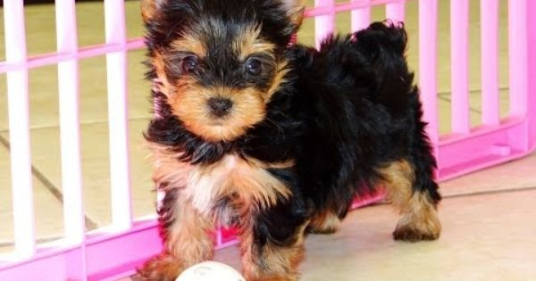 Yorkshire Terrier Puppies For Sale In Albany County Georgia Ga 19breeders Alpharetta Marietta Yorkie Puppy For Sale Yorkie Puppy Puppies For Sale