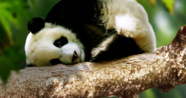 It's baby panda's nap time I think....