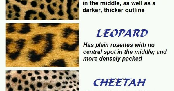 Jaguar Leopard Cheetah Know The Difference