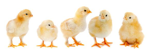 Ballet Of The Unhatched Chicks Free Lesson Plan Aba Form