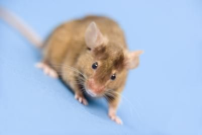 How To Insulate A Metal Or Wooden Shed To Keep Pests Out Getting Rid Of Mice Pet Mice Mice Repellent