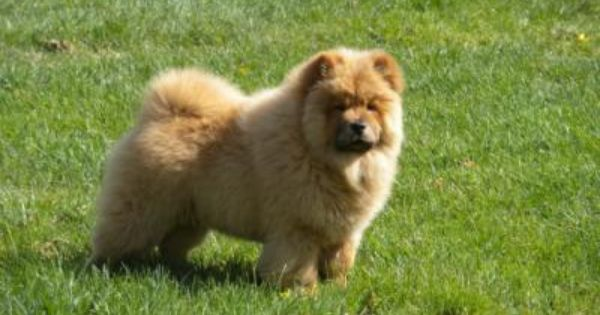 Chow Chow Dogs Chow Chow Dog Breed Info Pictures Petmd Dog