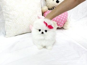 Male And Female Teacup Pomeranian Puppies Pomeranian Puppy Teacup Pomeranian Puppy Pomeranian Puppy For Sale