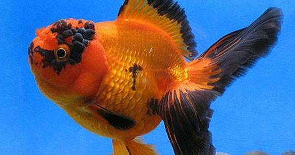 Xxl Red Oranda Goldfish Oranda Goldfish Goldfish Species Goldfish