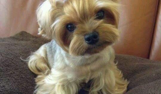 Top 10 Best Lap Dog Breeds | puppies | Pinterest | Dog ...
