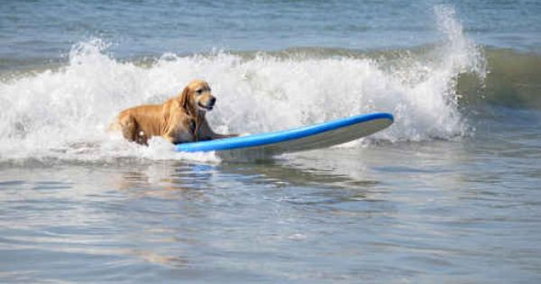 You Took The Time To Teach Them How To Surf But You Can Barely Swim Dog Vacations Dog Beach Dog Friendly Beach