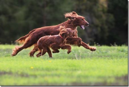Irish setter and puppy running irish setter love for Location monte meuble paris