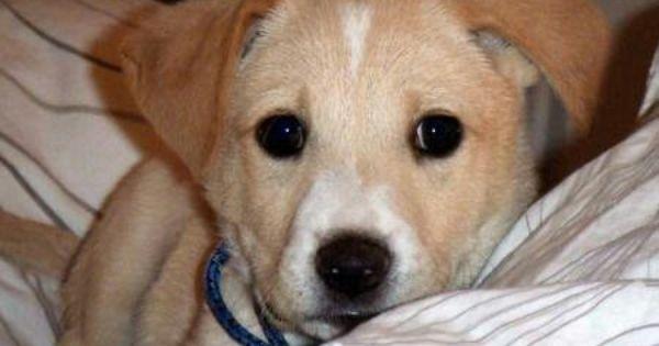 I Want One Of These Sooo Frickin Cute Labbe Or Beagledor