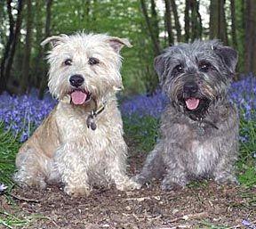 Glen Of Imaal Terriers From The Uk They Belong To Ali S Glen