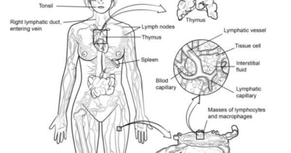 Adult Coloring Sheets For Lymphatic System Google Search