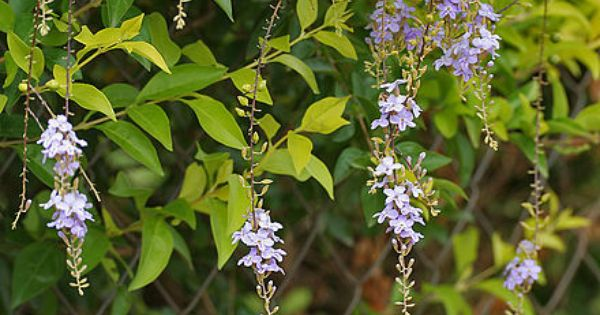 Verbenaceae Plants Tropical Garden Plants Showy Flowers