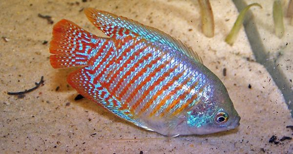 Dwarf gourami fish up to 2 avoid boisterous and for Aggressive fish for sale