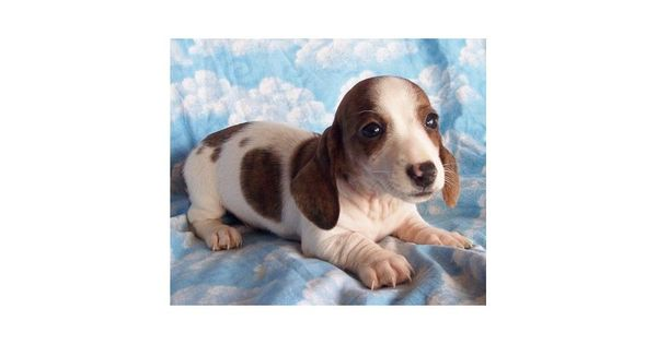 Meet Male A Cute Dachshund Mini Puppy For Sale For 500 Akc Fido