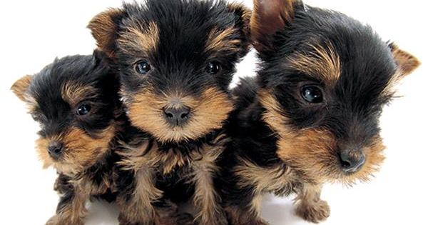 Artist Collection THE DOG Yorkshire Terrier  All Yorkie Puppies Are Born B