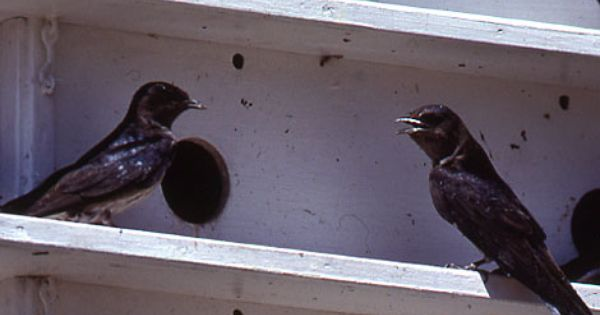 Attract Purple Martins To Your Yard They Love People And Will Come Out To Greet You When You Are Outside Purple Martin Pet Birds Backyard Birds