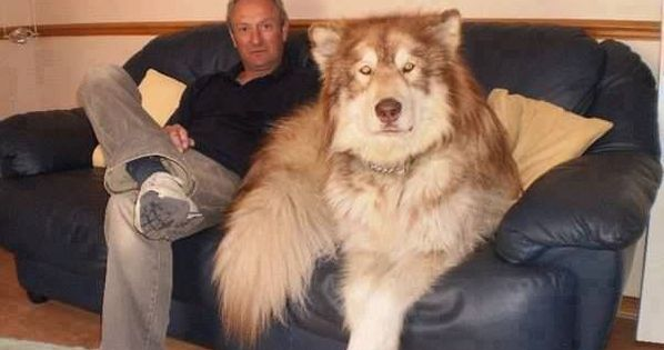 Giant Alaskan Malamute Dog Breed Information and Photos ...
