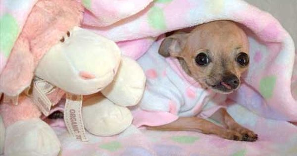 In 2008 Baby Emma A Chihuahua Was Born With A Cleft Palate