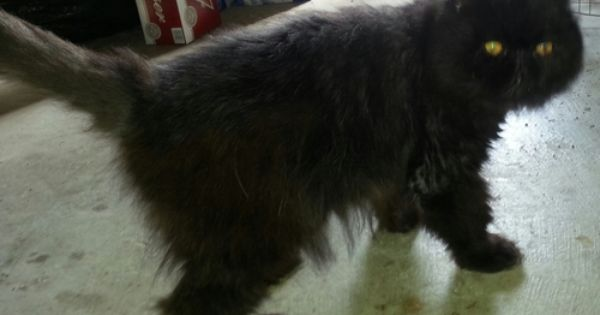 Adopt Jasper Courtesy Post On Persian Cat Animals Cats