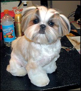 Pin On Shih Tzu Hair Styles