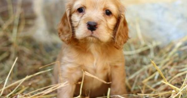 WARNING, Cocker Spaniel Puppy for Sale in Pennsylvania ...