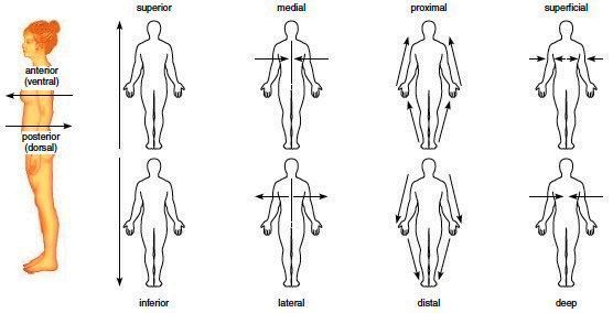 Directional terms | Anatomy and Physiology | Pinterest ...
