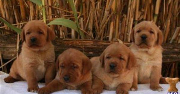 Labrador Retriever Puppies For Sale In California Labrador Retriever Labrador Retriever Puppies Labrador Puppy