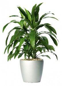 Dracaena Fragrans Best Indoor Plants