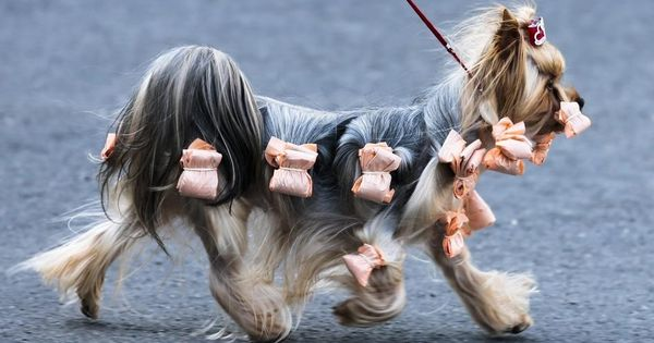 A Yorkshire Terrier Practices Prancing Before The Heated Competition In Berlin Germany Dog Pictures Dog Show Yorkshire Terrier