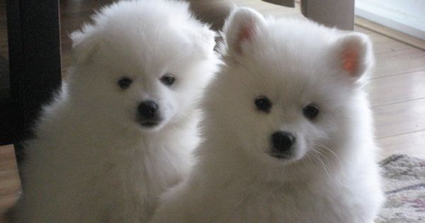 Pin By Jennifer Doshier On Things I Love American Eskimo Puppy Miniature American Eskimo American Eskimo Dog