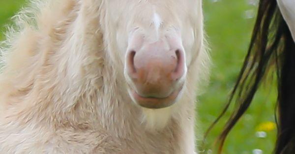 Irish Cob, Gypsy Cob. The Gypsy Horse (USA, UK, AU), also known